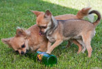 Beer drinking dogs (fyllehundar)
